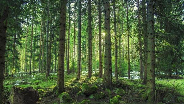 Ислочь-Парк - Сосновый лес
